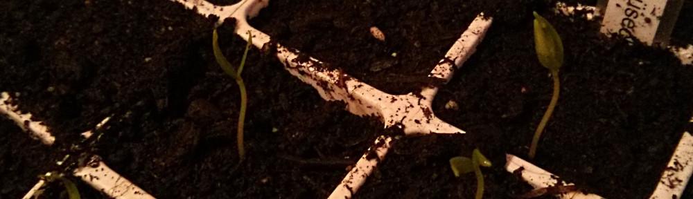 Kleine Chili-Keimlinge, ca 2 cm hoch