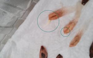 Keimling der Plumeria