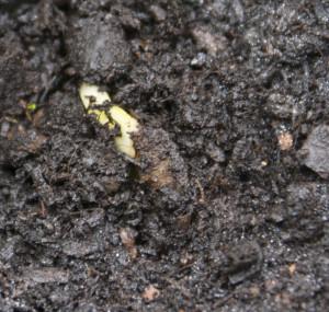 Keimling einer der Plumeria die in Erde eingesetzt wurden