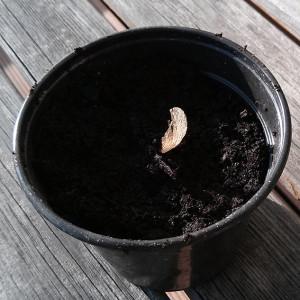 Ahornkeim eingepflanzt