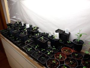 Chili und Plumeria Pflanzen unter Tageslichtleuchten
