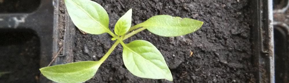 Gewächshaus Erde Wechseln : chilipflanzen es ist umgetopft neu unser rezepttipp ~ Whattoseeinmadrid.com Haus und Dekorationen