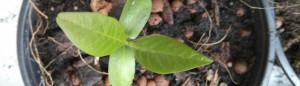 Titelbild Plumeria